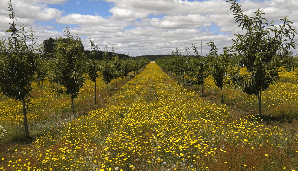 Chestnut Orchard