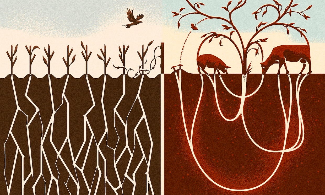 Regenerative Grazing vs. Monoculture Corn - Illustration by Matt Kenyon